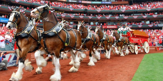 ST. LOUIS, MO - APRIL 08: The Budweiser Clydesdales trot around the warning track during the pregame ceremony for Opening Day on April 8, 2013 at Busch Stadium in St. Louis, Missouri. The St. Louis Cardinals take on the Cincinnati Reds. (Photo by Dilip Vishwanat/Getty Images)